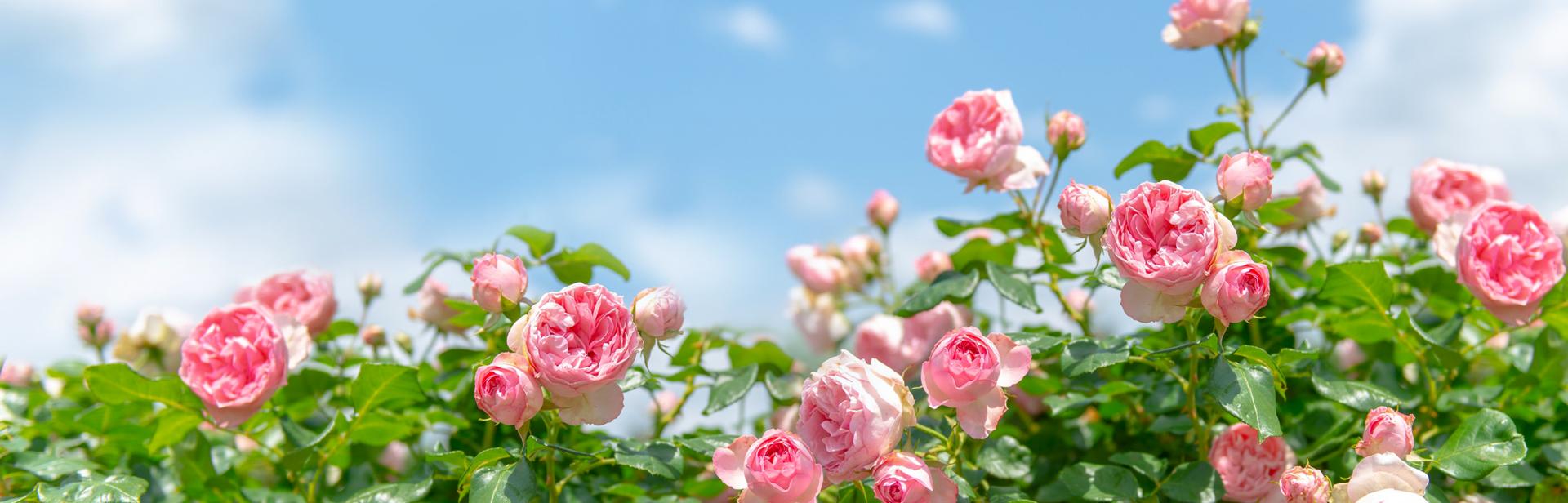 баннер-_розы